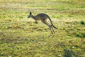 Image of jumping kangaroo.